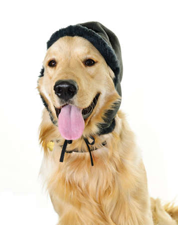 humor: Funny golden retriever dog wearing winter hat  isolated on white background