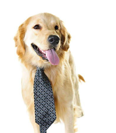 humor: Funny golden retriever dog wearing tie isolated on white background Stock Photo