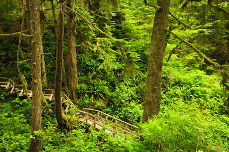cedars: Wooden path through temperate rain forest. Pacific Rim National Park, British Columbia Canada