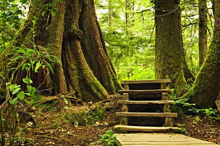 el cedro: Ruta de acceso a trav�s de bosques templados de lluvia. Parque nacional Pacific Rim, Columbia Brit�nica, Canad�