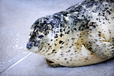 Resting harbor seal at Vancouver Aquarium, British Columbia, Canada