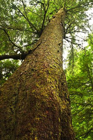 hemlock: Tronco de árbol de altura cicuta occidental en bosques templados de lluvia. Parque nacional Pacific Rim, Columbia Británica, Canadá Foto de archivo