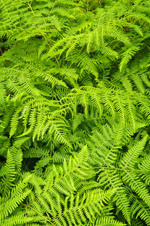 ferns: Fondo de plantas de frondosos helechos verde brillante