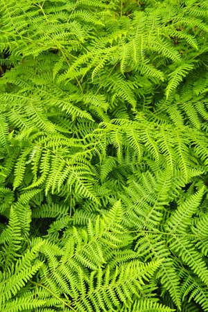 Sfondo di piante lussureggianti felce verde brillante Archivio Fotografico