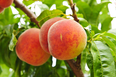 peaches: Ripe peaches ready to pick on tree branches