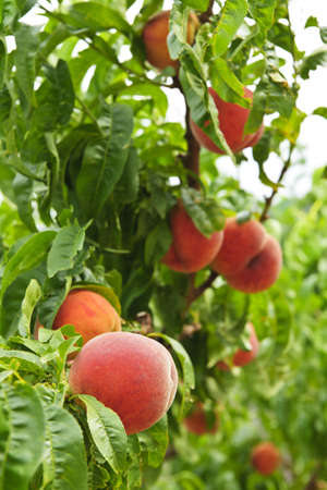 peach tree: Ripe peaches ready to pick on tree branches