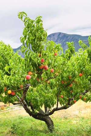 durazno: �rbol de melocot�n con fruta madura en el Valle de Okanagan, Columbia Brit�nica de Canad�