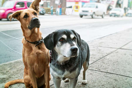 mutts: Two pet dogs waiting on sidewalk on city street