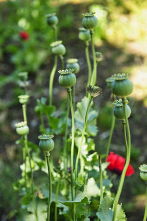 seedpod: Tall green poppy pods and stems growing in garden