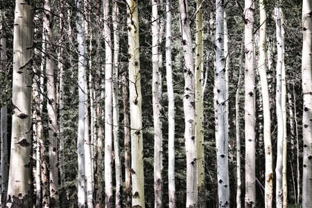 bark: Aspen tree trunks in forest as natural background Stock Photo