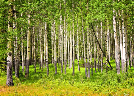 banff national park: Forest of tall white aspen trees in Banff National park, Canada