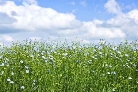 Field of many flowering flax plants with blue sky
