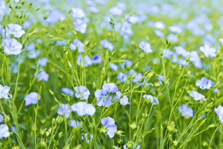 flowering field: Background of blooming blue flax in a farm field Stock Photo