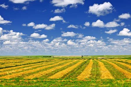 Harvested wheat on farm field in Saskatchewan, Canada photo