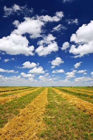 hayroll: Harvested wheat on farm field in Saskatchewan, Canada Stock Photo