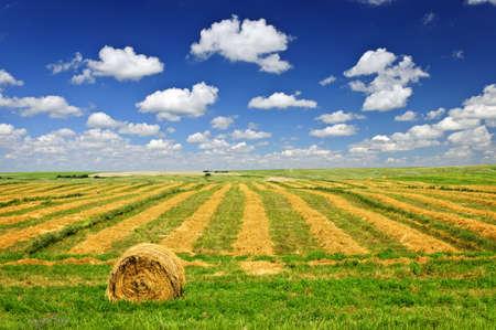 fardos: Trigo cosechado en campo de granja con balas de heno en Saskatchewan, Canad�