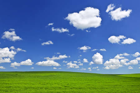 чечевица: Lush green lentil and wheat fields under blue sky in Saskatchewan prairies of Canada