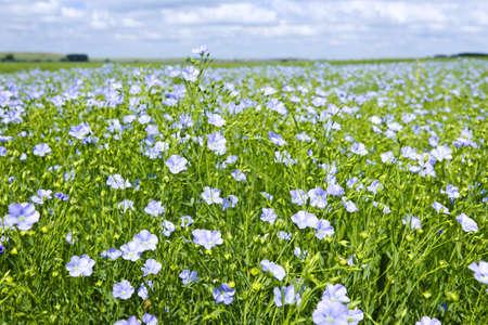 Campo de muchas plantas con flores de lino con cielo azul