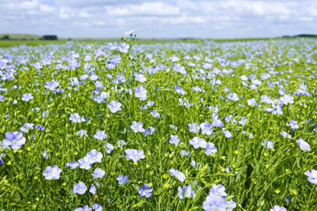 linseed: Field of many flowering flax plants with blue sky