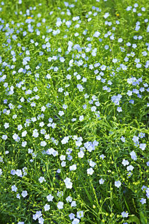 Background of blooming blue flax in a farm field photo