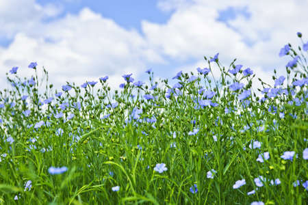 Field of many flowering flax plants with blue sky photo
