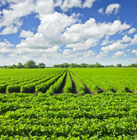 Rows of soy plants in a cultivated farmers field Stockfoto