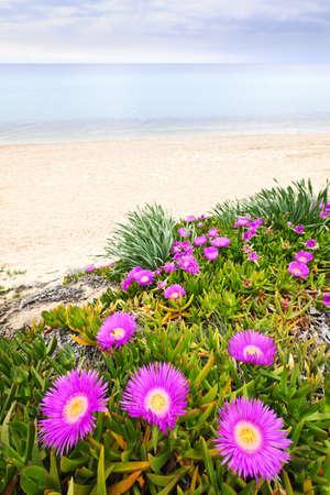 iceplant: Sea fig flowers blooming on Aegean coast in Chalkidiki, Greece