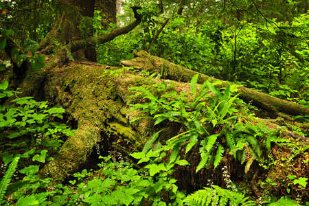 temperate: Lush foliage on fallen tree in temperate rain forest. Pacific Rim National Park, British Columbia Canada