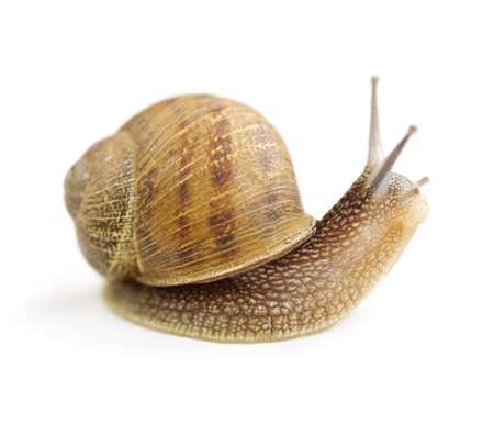 Garden snail looking around isolated on white background Stockfoto
