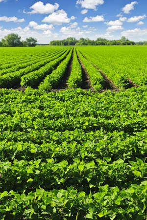 Rows of soy plants in a cultivated farmers field Stock Photo