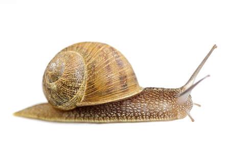 caracol: Avanzar de caracol de jard�n aislado en fondo blanco