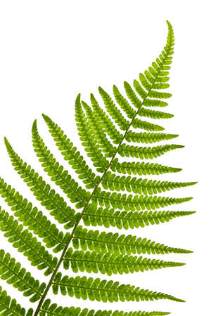 Green fern leaf isolated on white background Imagens