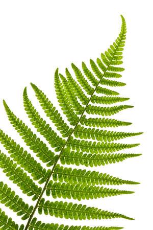 Groen varenblad soleerd op witte achtergrond