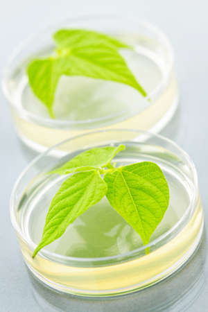 Genetically modified plants tested in petri dishes photo