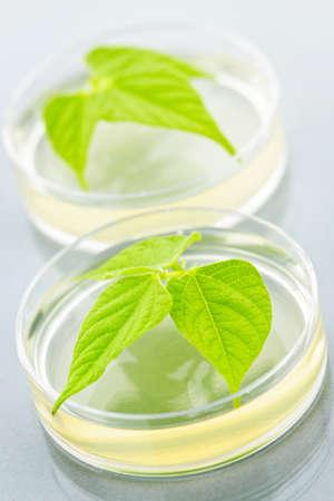 genetically modified: Piante geneticamente modificate testate in capsule di Petri