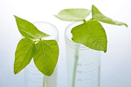 genetically modified: Geneticamente modificati pianta semenzali in due provette