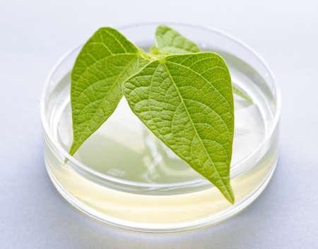 biotecnologia: Planta genéticamente modificada probó en placa de Petri Foto de archivo