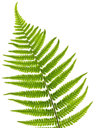 foliage frond: Green fern leaf isolated on white background Stock Photo