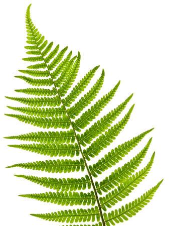 helechos: Hoja de helecho verde aislada sobre fondo blanco Foto de archivo