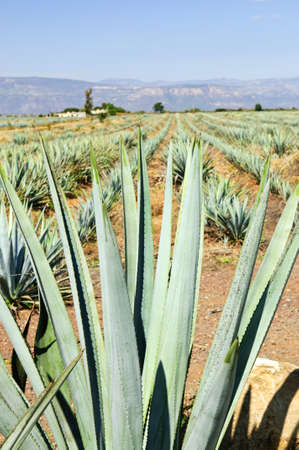 Agave cactus field near Tequila in Mexico photo