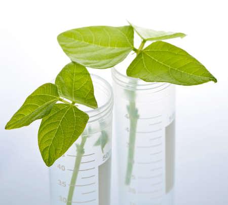 biotecnologia: Organismos modificados genéticamente plantas de semillero en dos tubos de ensayo