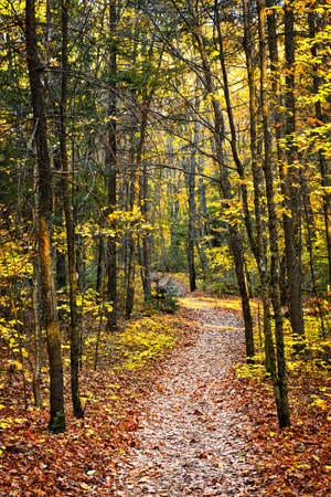 sunlit: Fall forest path with fallen leaves covering the ground, Algonquin Park, Canada.