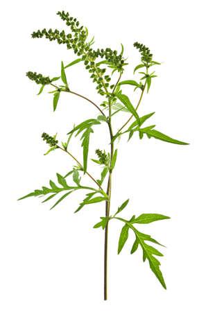 allergen: Ragweed plant in allergy season isolated on white background, common allergen Stock Photo