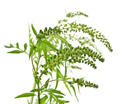alergenos: Planta de ambros�a en temporada de alergias aislada sobre fondo blanco, al�rgeno com�n