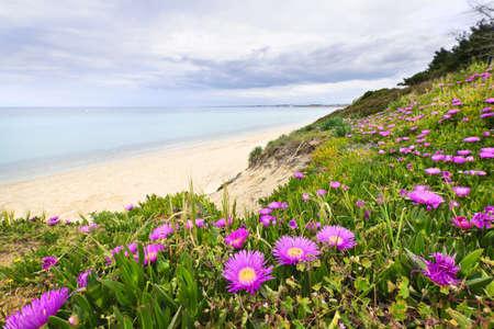 iceplant: Coast of Aegean sea with blooming wildflowers in Chalkidiki, Greece