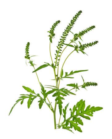 alergenos: Planta de ambros�a en la temporada de alergias aisladas sobre fondo blanco, alergenos comunes Foto de archivo