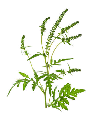 with pollen: Ragweed plant in allergy season isolated on white background, common allergen Stock Photo