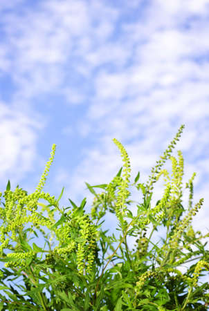ambrosia: Flowering ragweed plant in closeup against blue sky, a common allergen