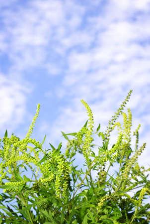 alergenos: Planta ambros�a closeup contra el cielo azul, un al�rgeno com�n Foto de archivo
