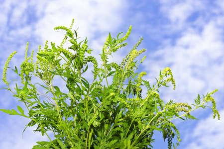alergenos: De plantas con flores de ambros�a en el primer plano contra el cielo azul, un alergeno com�n Foto de archivo